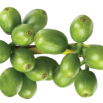 Green coffee supplements